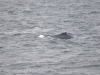 A third whale joined up with Valley and Nile just as the boat had to leave to go back to Boston. We were not able to stay long enough to see a fluke. Stellwagen Bank National Marine Sanctuary