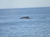 1 July 2011. Fin whale. Jeffreys Ledge. Sightings were very slim on this day. Not much whale activity in our area.