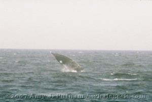 Breaching minke whale. Sept 2007 Stellwagen Bank National Marine Sanctuary