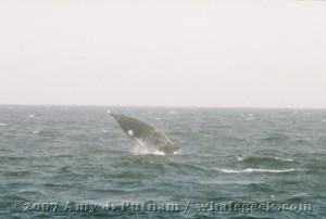 Breaching minke whale. Sept 2007 Stellwagen Bank National Marine Sanctuary