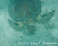 Loggerhead turtle in Akumal, Mexico.